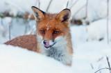 Встречи с лисами