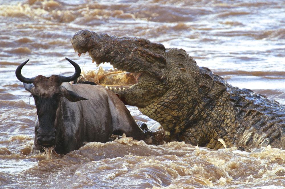 ловля нильских крокодилов