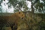 «Саблезубый» леопард